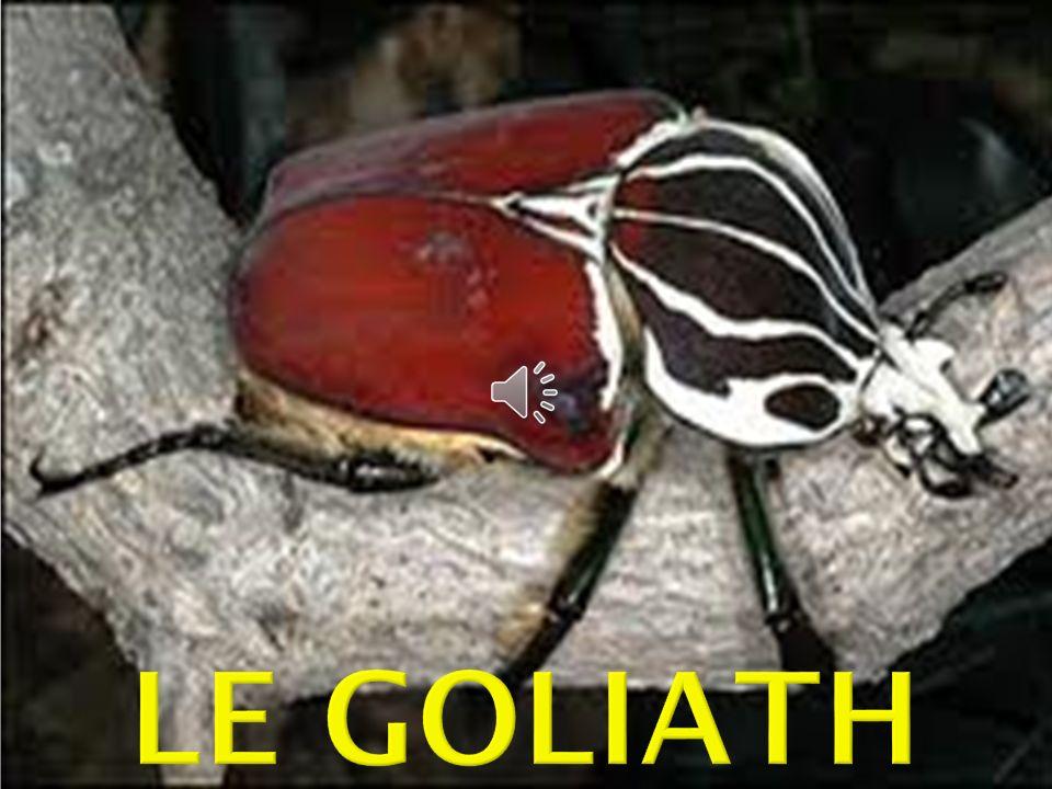 Le Goliath