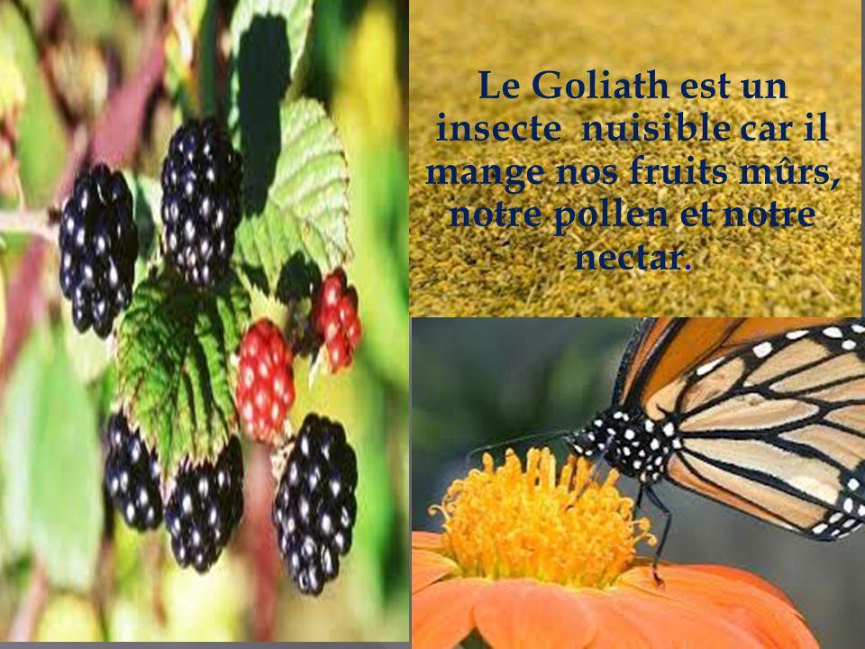 Le Goliath est un insecte nuisible car il mange nos fruits mûrs, notre pollen et notre nectar.