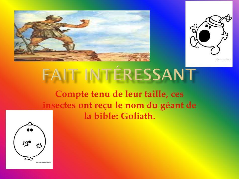 Fait intéressant Compte tenu de leur taille, ces insectes ont reçu le nom du géant de la bible: Goliath.