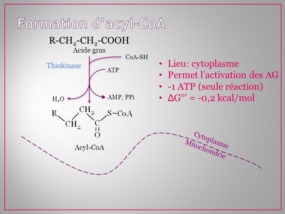 Formation d'acyl-CoA R-CH2-CH2-COOH Lieu: cytoplasme