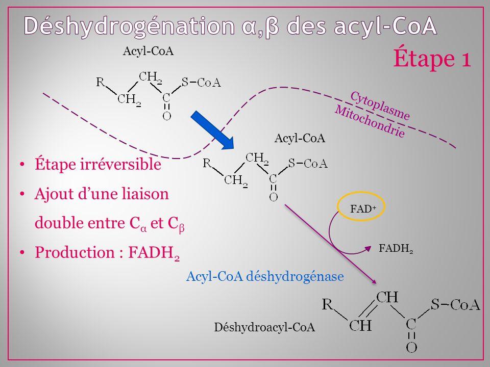 Déshydrogénation α,β des acyl-CoA