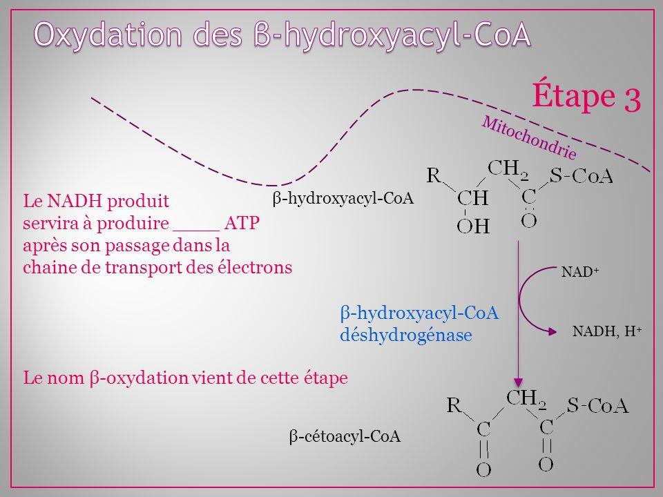 Oxydation des β-hydroxyacyl-CoA