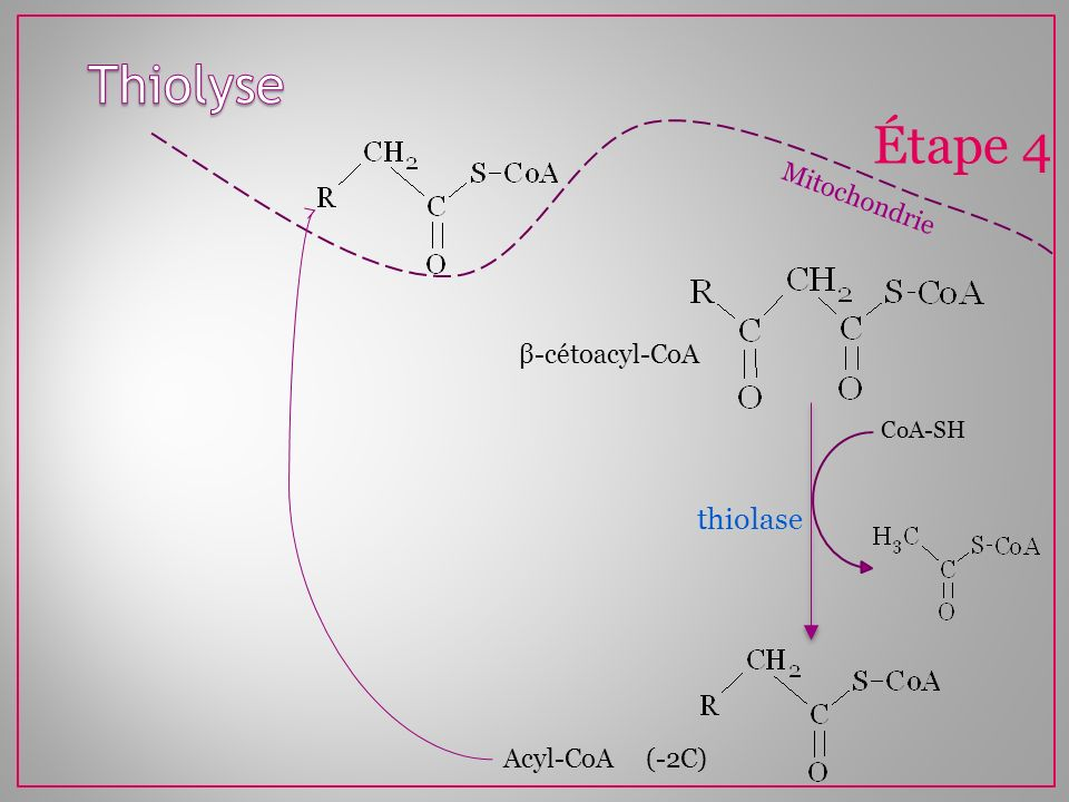 Thiolyse Étape 4 thiolase Mitochondrie β-cétoacyl-CoA Acyl-CoA (-2C)