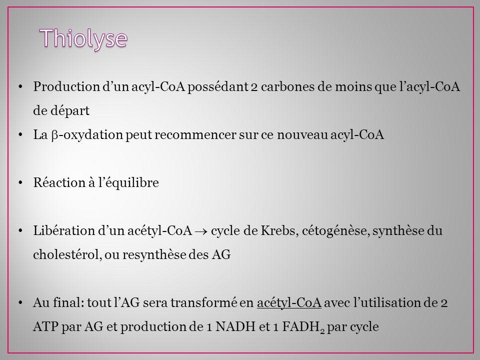 Thiolyse Production d'un acyl-CoA possédant 2 carbones de moins que l'acyl-CoA de départ. La -oxydation peut recommencer sur ce nouveau acyl-CoA.