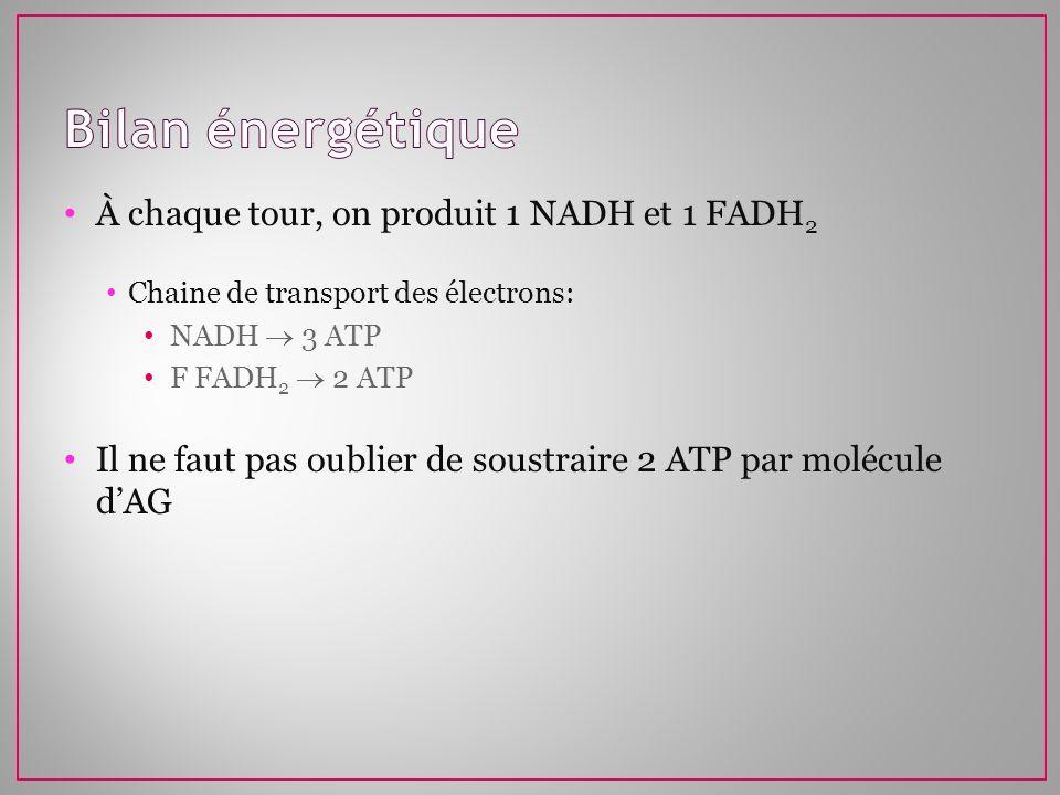 Bilan énergétique À chaque tour, on produit 1 NADH et 1 FADH2