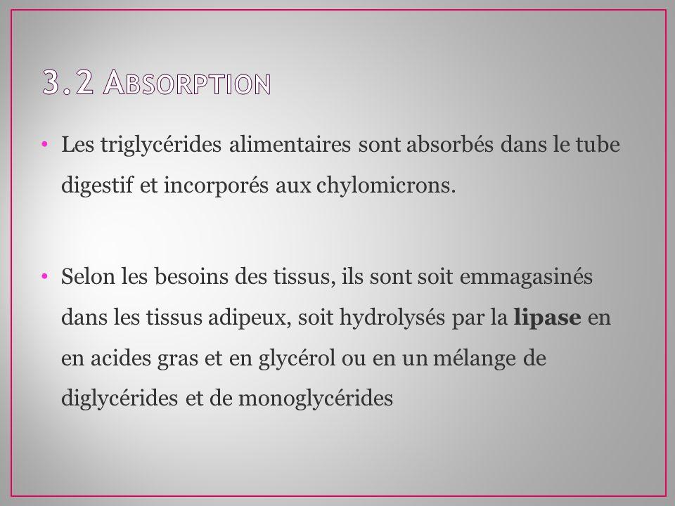 3.2 AbsorptionLes triglycérides alimentaires sont absorbés dans le tube digestif et incorporés aux chylomicrons.