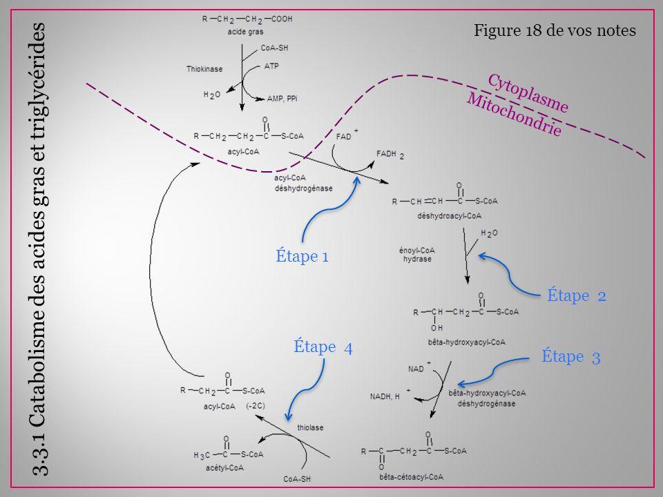 3.3.1 Catabolisme des acides gras et triglycérides