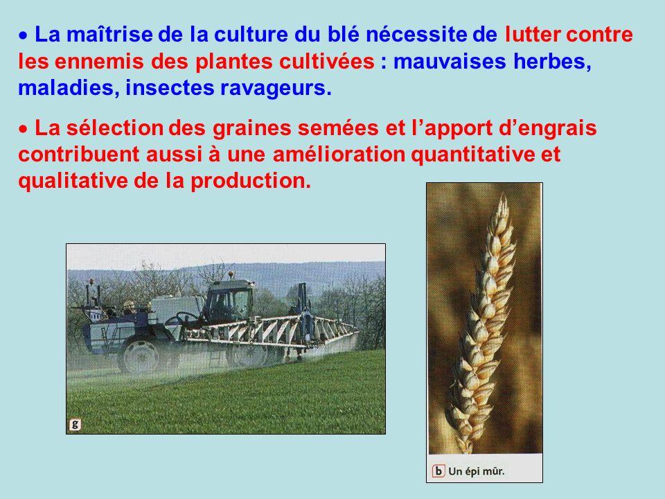 La maîtrise de la culture du blé nécessite de lutter contre les ennemis des plantes cultivées : mauvaises herbes, maladies, insectes ravageurs.