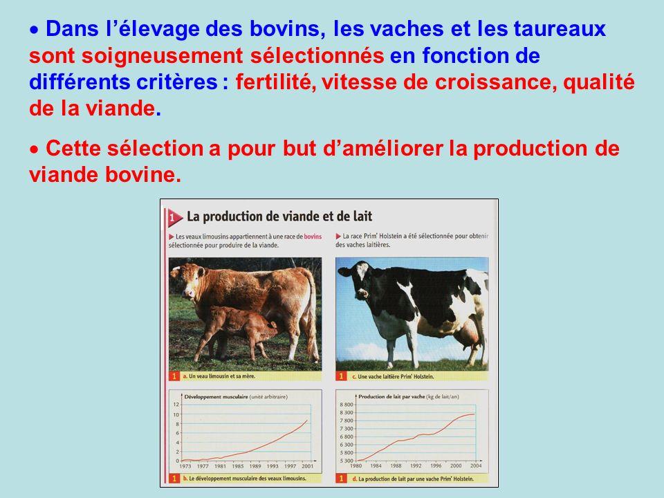 Dans l'élevage des bovins, les vaches et les taureaux sont soigneusement sélectionnés en fonction de différents critères : fertilité, vitesse de croissance, qualité de la viande.
