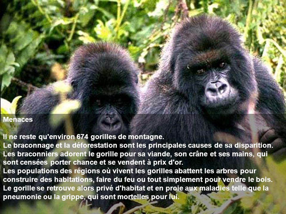 Menaces Il ne reste qu environ 674 gorilles de montagne.