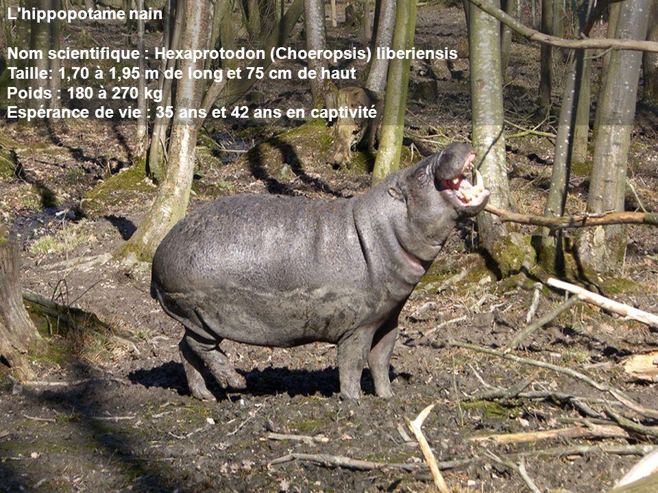 L hippopotame nain Nom scientifique : Hexaprotodon (Choeropsis) liberiensis. Taille: 1,70 à 1,95 m de long et 75 cm de haut.