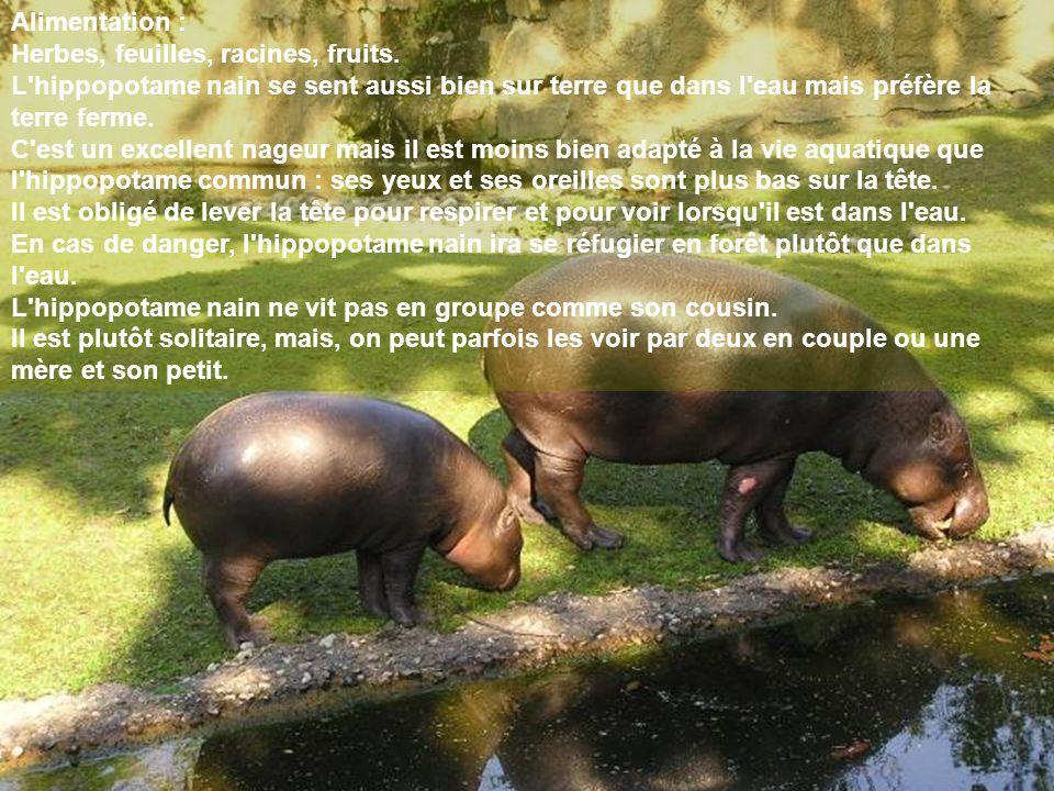 Alimentation : Herbes, feuilles, racines, fruits. L hippopotame nain se sent aussi bien sur terre que dans l eau mais préfère la terre ferme.