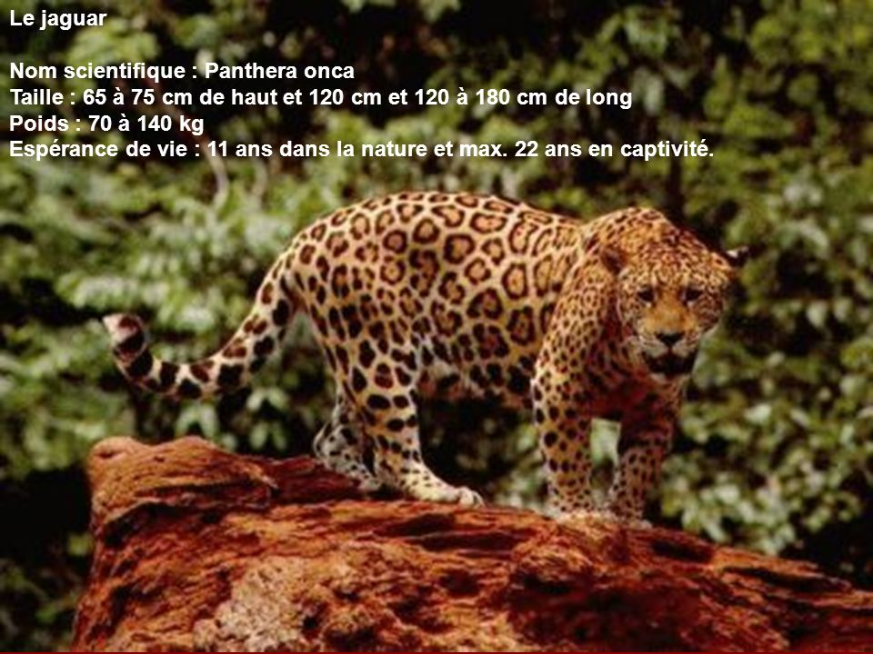 Le jaguar Nom scientifique : Panthera onca. Taille : 65 à 75 cm de haut et 120 cm et 120 à 180 cm de long.