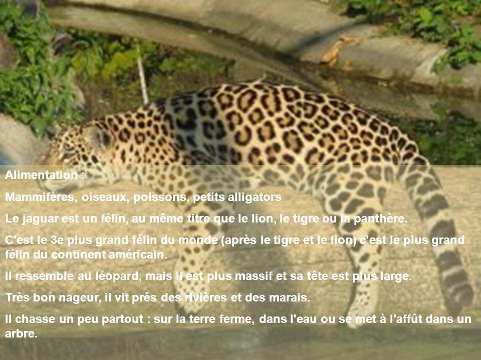 Alimentation : Mammifères, oiseaux, poissons, petits alligators. Le jaguar est un félin, au même titre que le lion, le tigre ou la panthère.