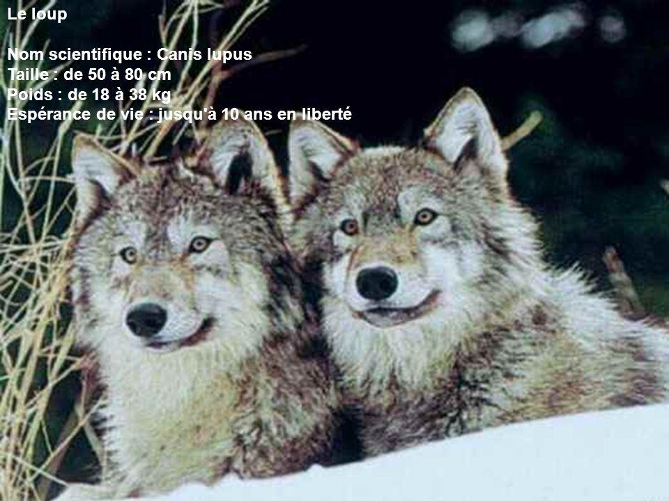 Le loup Nom scientifique : Canis lupus. Taille : de 50 à 80 cm.