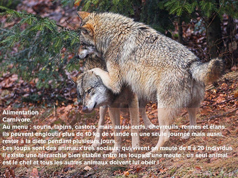Alimentation : Carnivore. Au menu : souris, lapins, castors, mais aussi cerfs, chevreuils, rennes et élans.