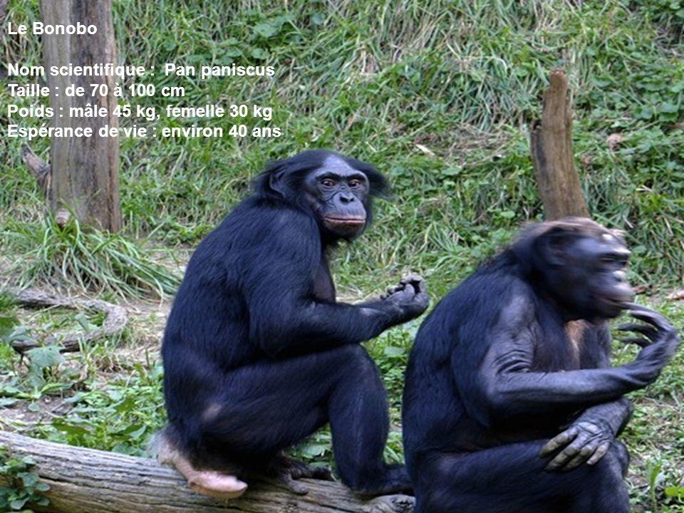 Le Bonobo Nom scientifique : Pan paniscus. Taille : de 70 à 100 cm. Poids : mâle 45 kg, femelle 30 kg.
