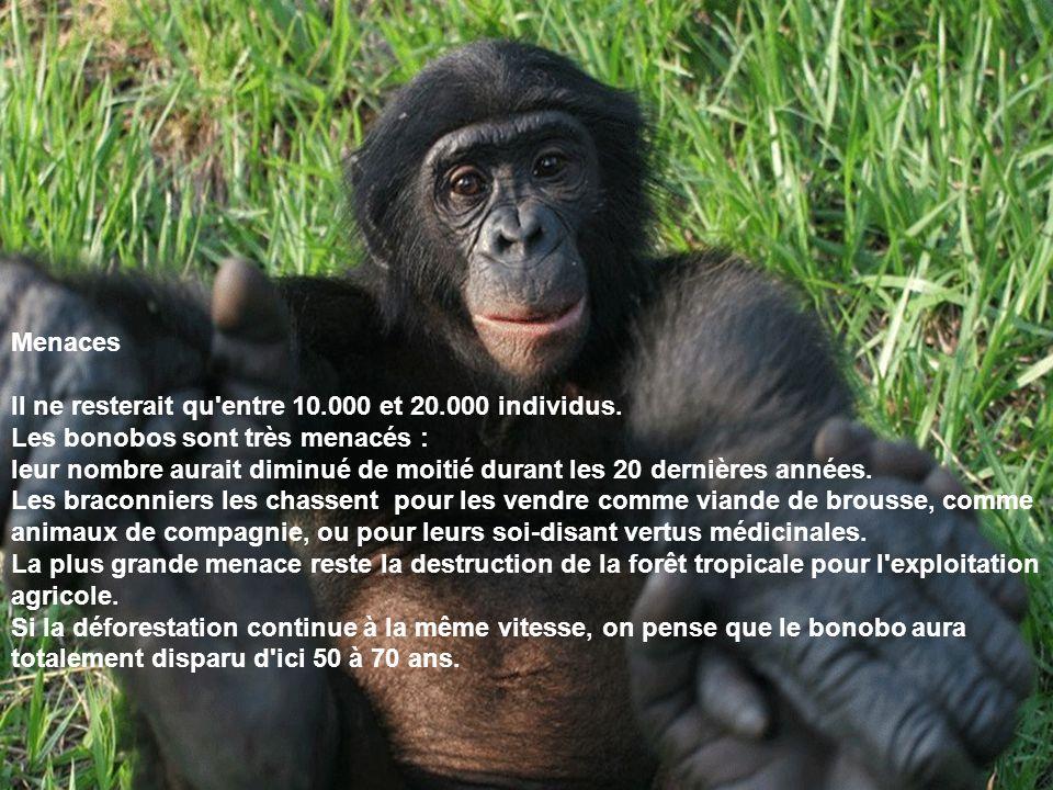 Menaces Il ne resterait qu entre 10.000 et 20.000 individus. Les bonobos sont très menacés :