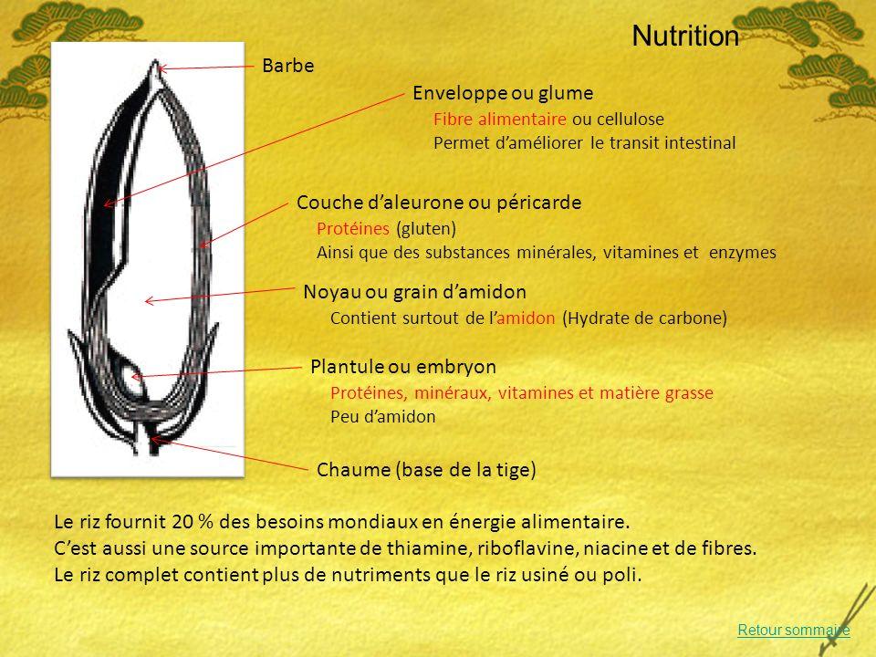 Nutrition Barbe Enveloppe ou glume Couche d'aleurone ou péricarde