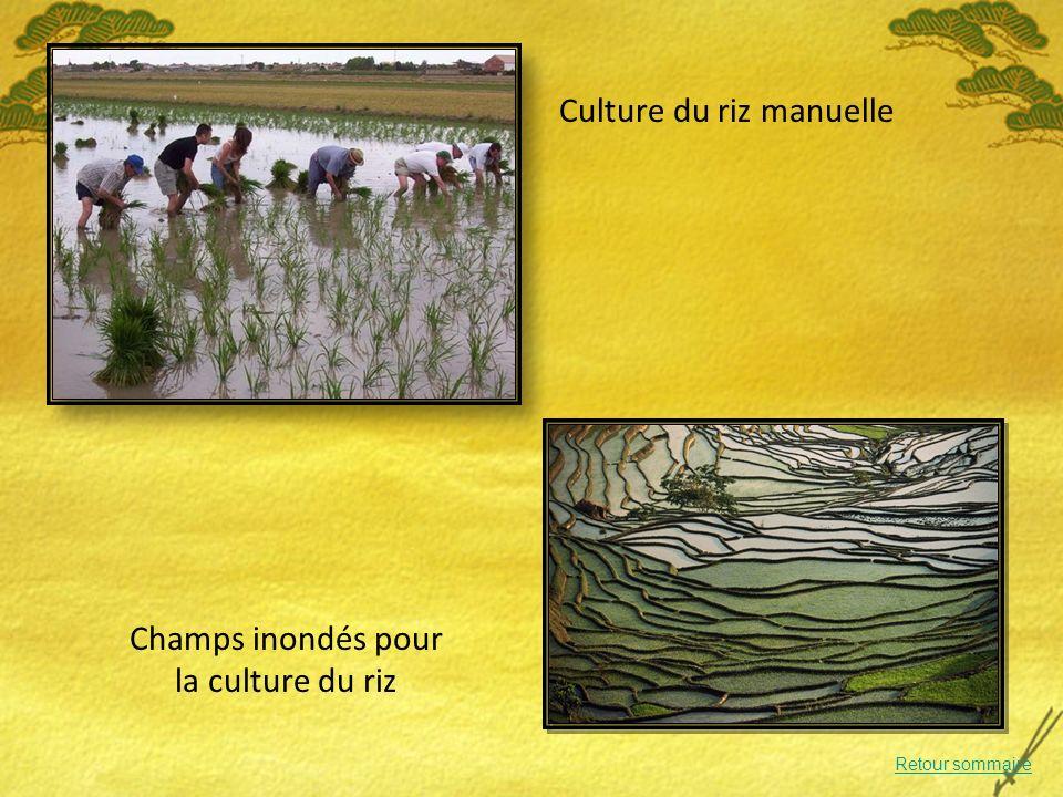 Culture du riz manuelle