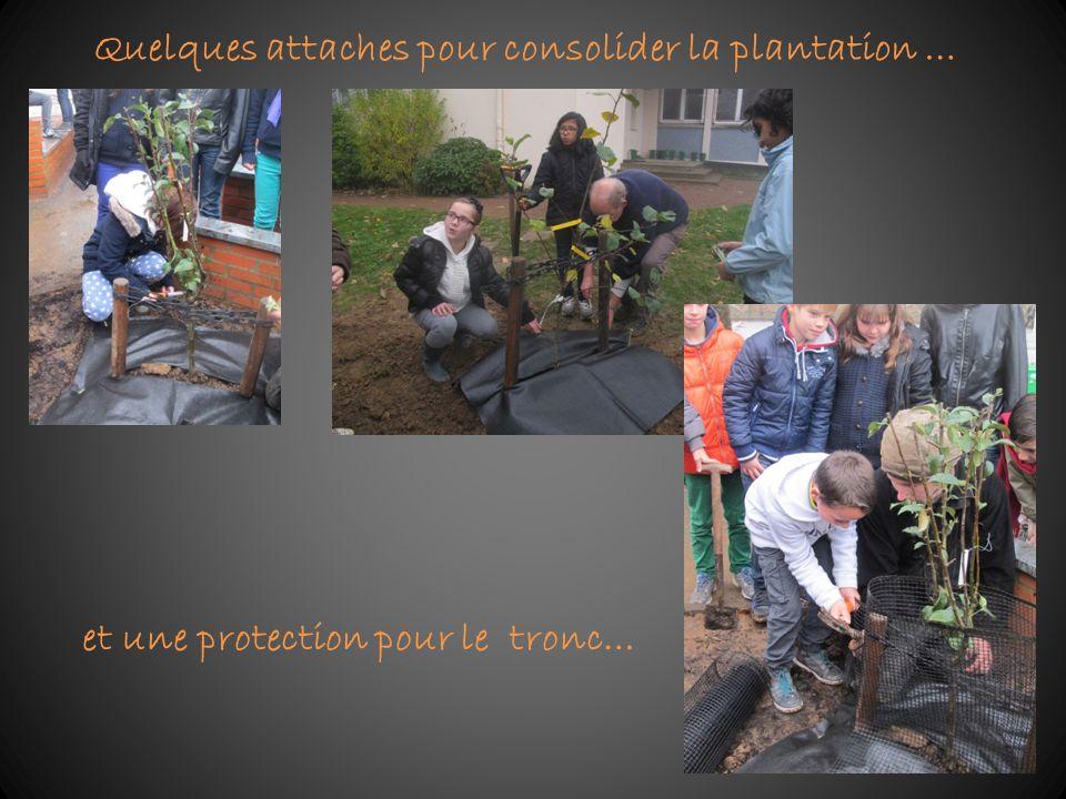 Quelques attaches pour consolider la plantation …