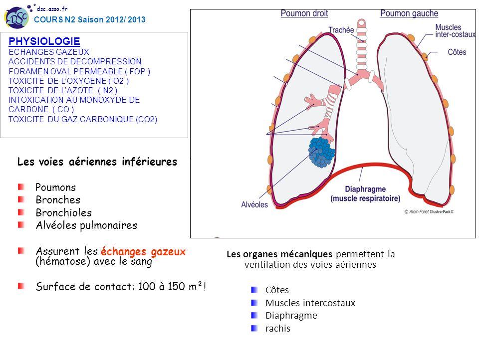 PHYSIOLOGIE Les voies aériennes inférieures Poumons Bronches
