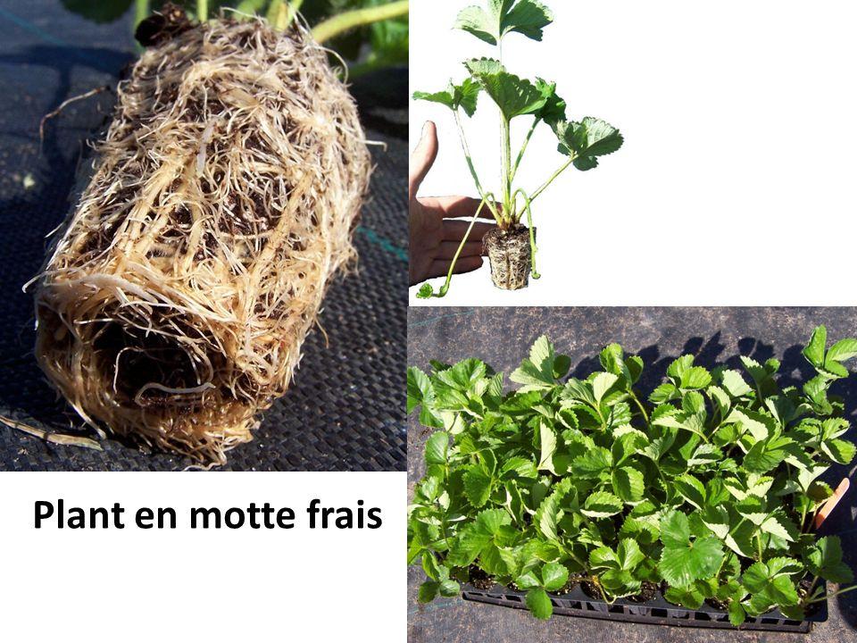 Plant en motte frais