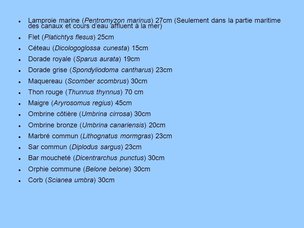 Lamproie marine (Pentromyzon marinus) 27cm (Seulement dans la partie maritime des canaux et cours d'eau affluent à la mer)