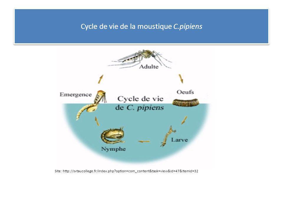 Cycle de vie de la moustique C.pipiens
