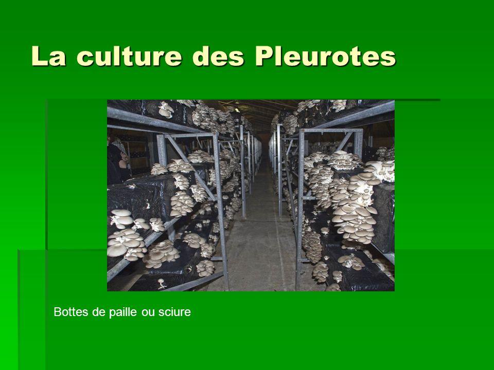 La culture des Pleurotes