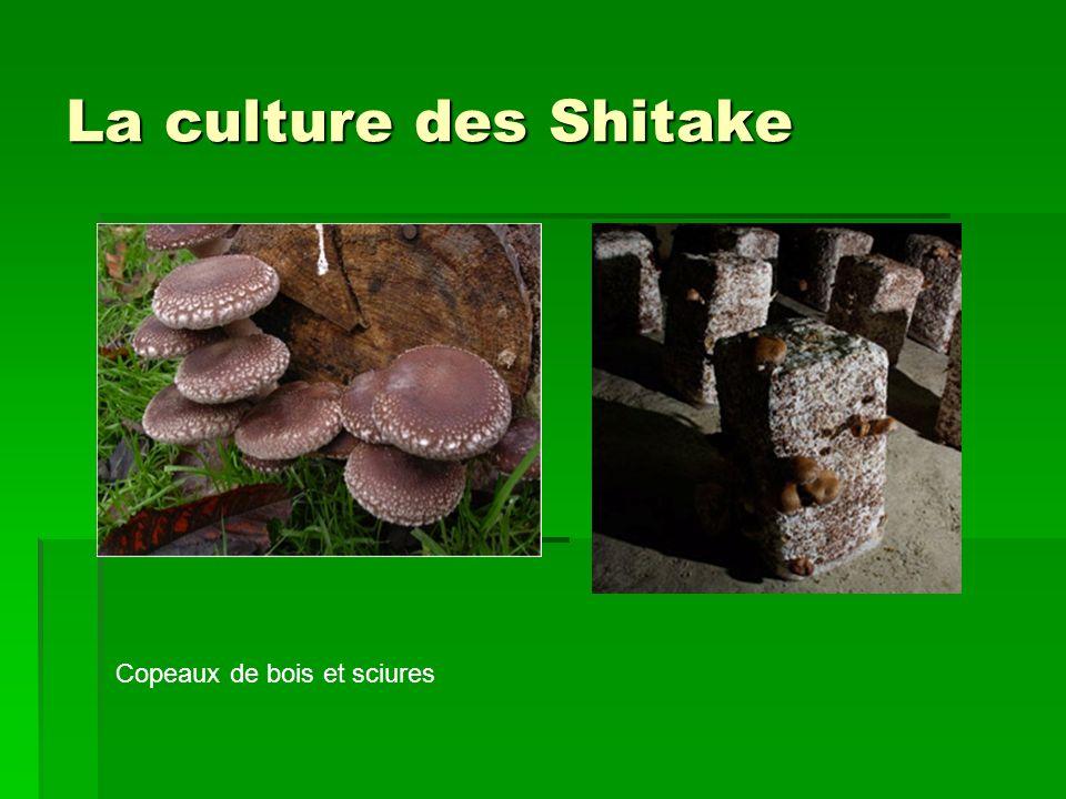 La culture des Shitake Copeaux de bois et sciures