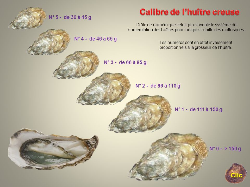 Calibre de l'huître creuse