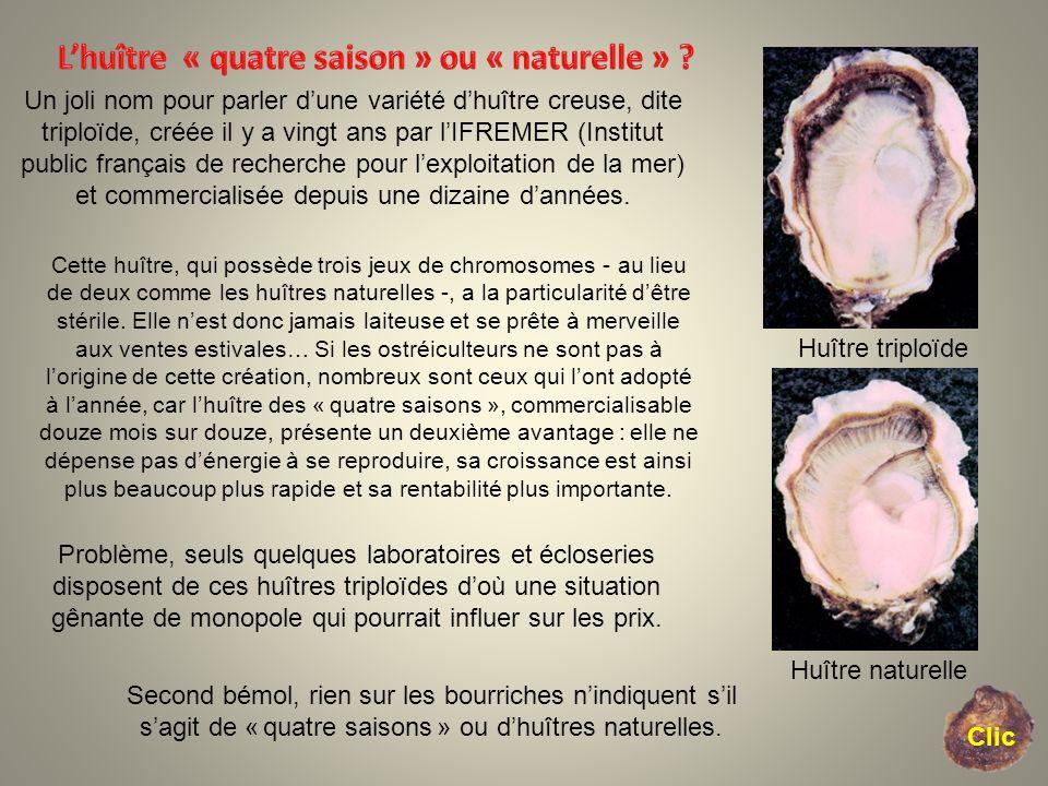 L'huître « quatre saison » ou « naturelle »