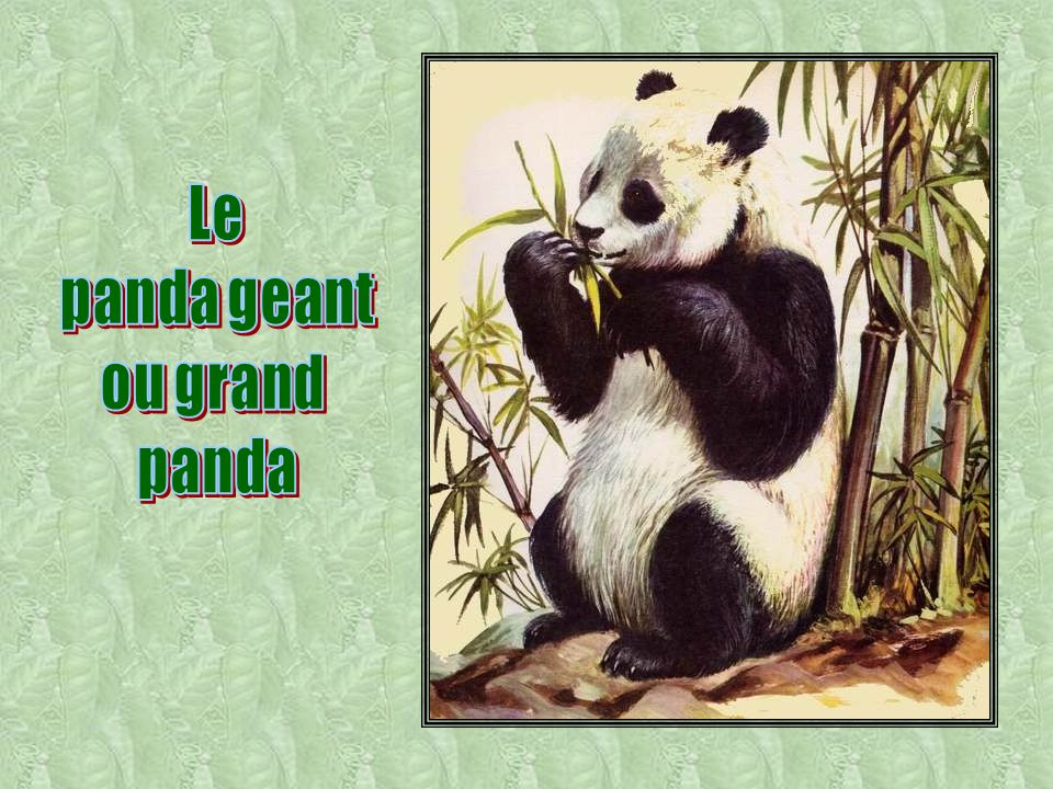 Le panda geant ou grand panda