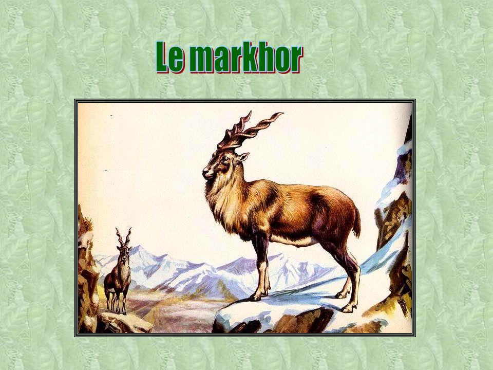 Le markhor