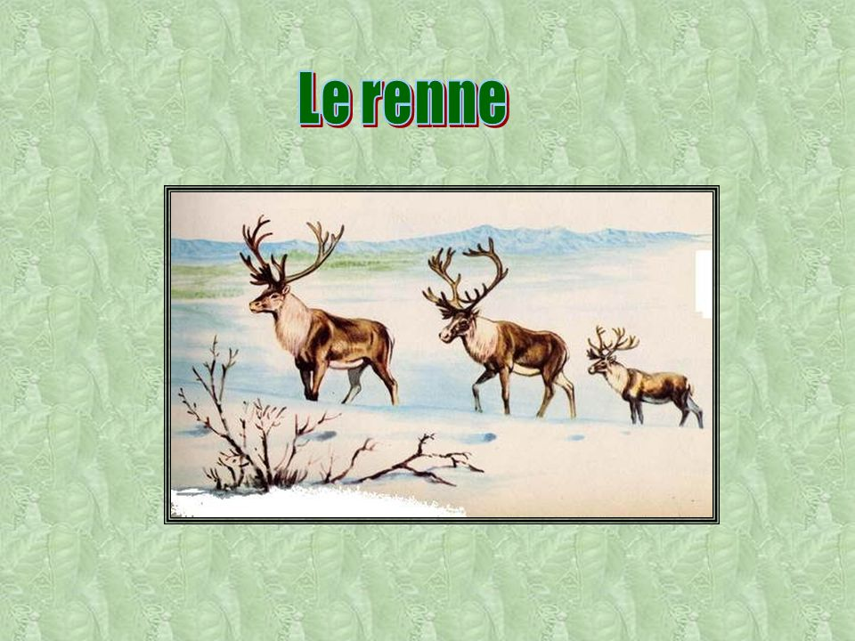 Le renne