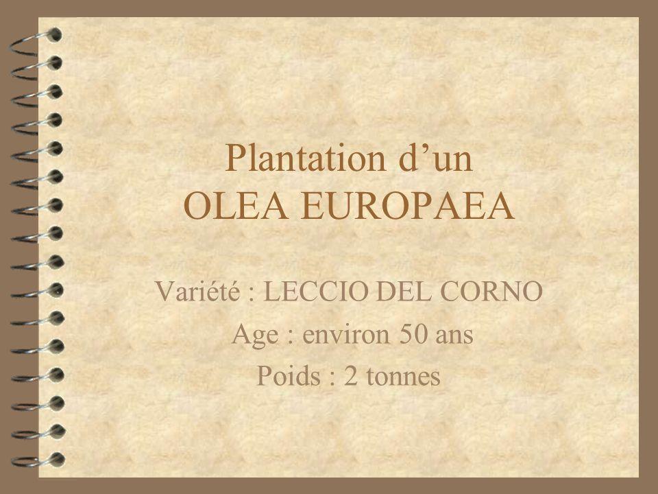 Plantation d'un OLEA EUROPAEA