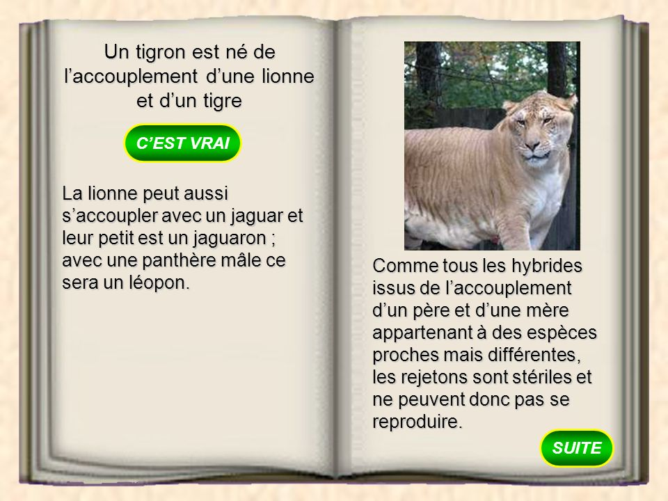 Un tigron est né de l'accouplement d'une lionne et d'un tigre