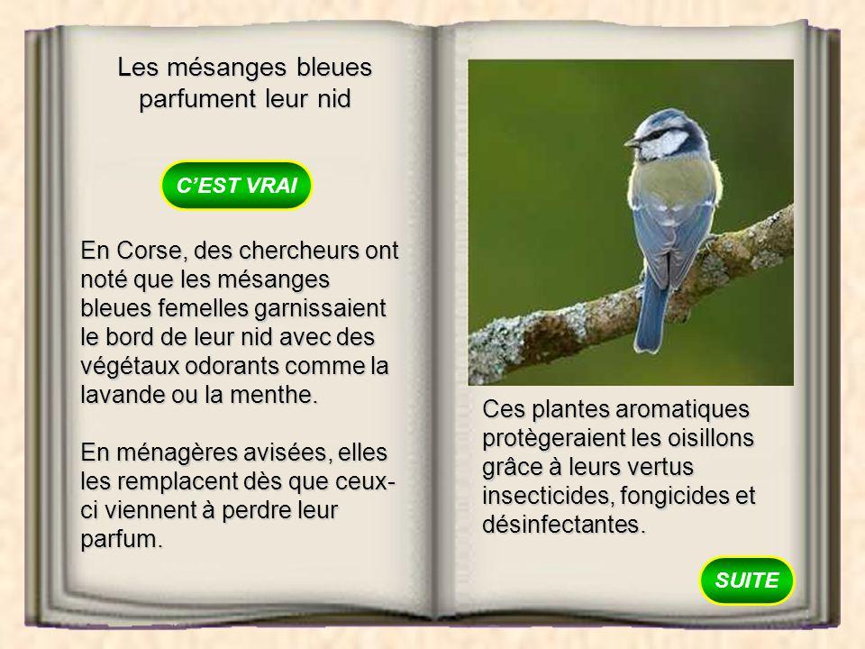 Les mésanges bleues parfument leur nid