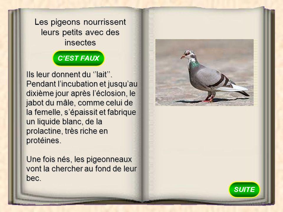 Les pigeons nourrissent leurs petits avec des insectes