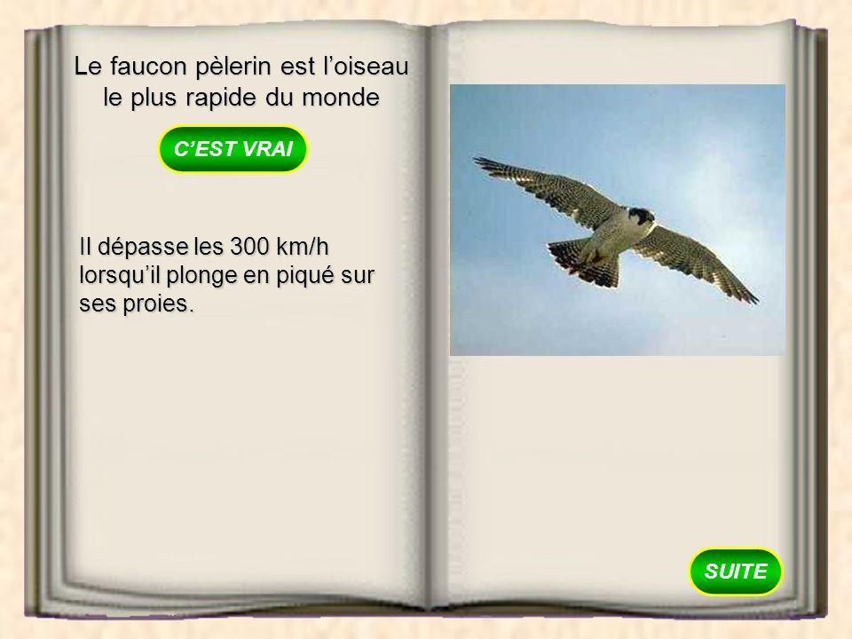 Le faucon pèlerin est l'oiseau le plus rapide du monde
