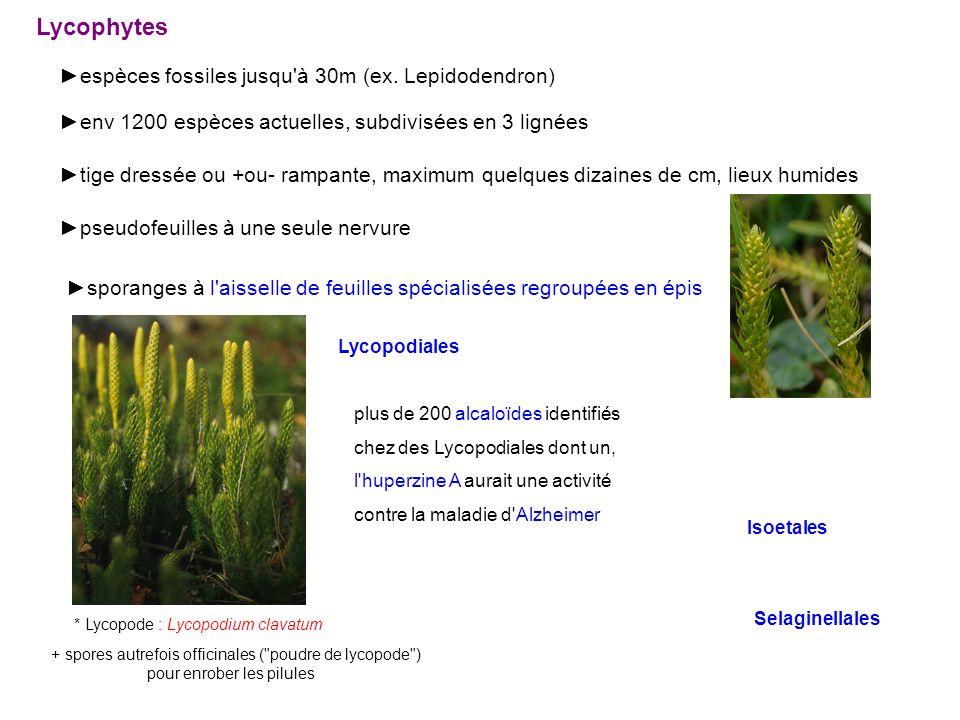 Lycophytes ►espèces fossiles jusqu à 30m (ex. Lepidodendron)