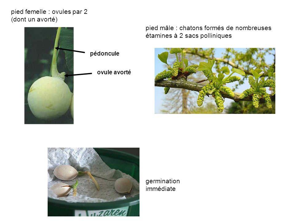 pied femelle : ovules par 2 (dont un avorté)