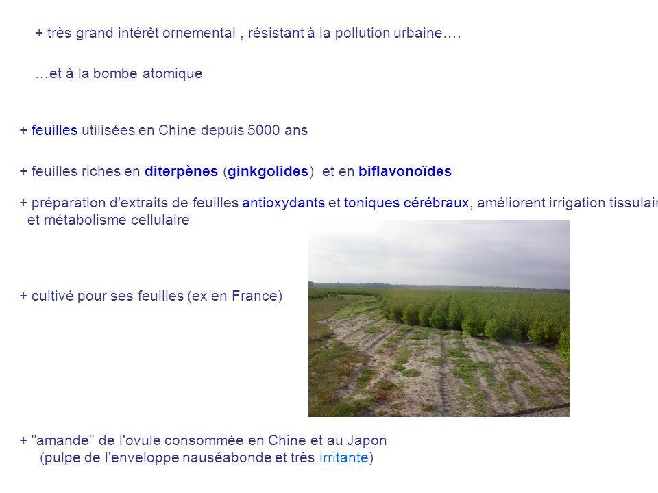 + très grand intérêt ornemental , résistant à la pollution urbaine….