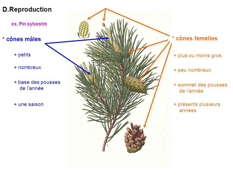 D.Reproduction * cônes mâles * cônes femelles + petits