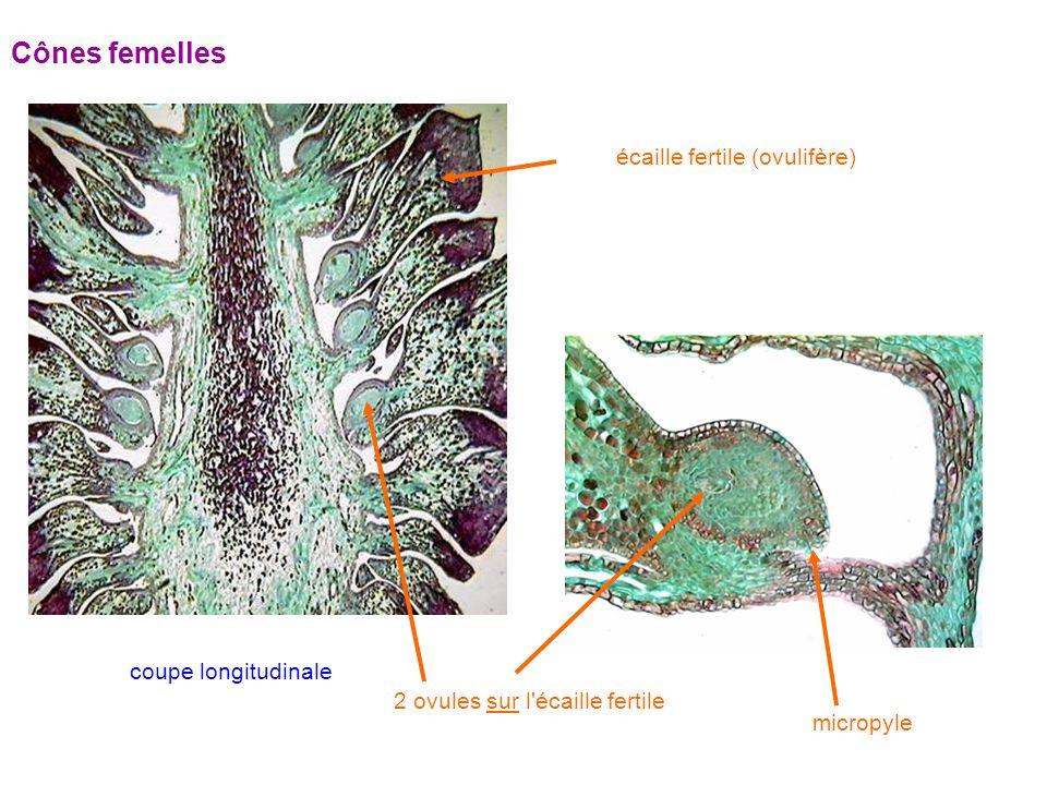 Cônes femelles écaille fertile (ovulifère) coupe longitudinale