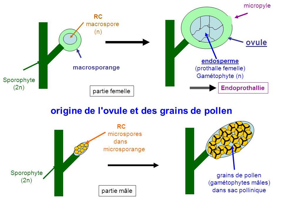 origine de l ovule et des grains de pollen