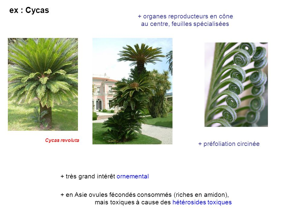 ex : Cycas + organes reproducteurs en cône