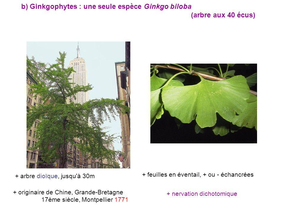 b) Ginkgophytes : une seule espèce Ginkgo biloba (arbre aux 40 écus)