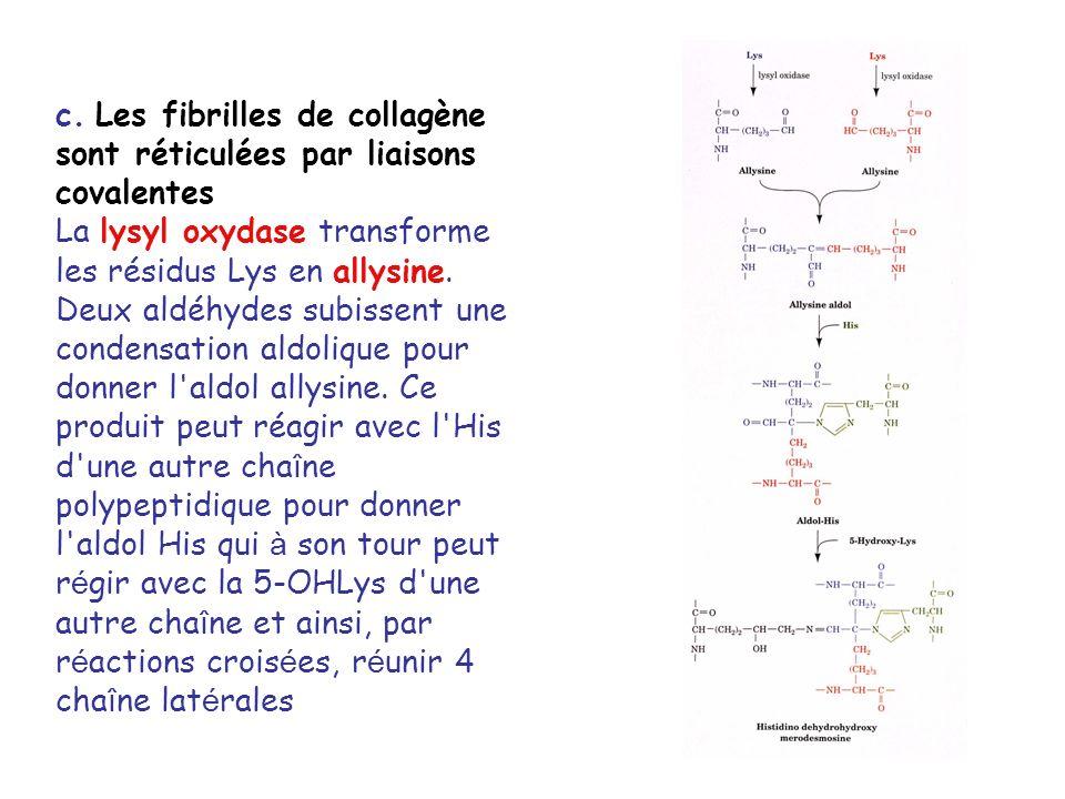 c. Les fibrilles de collagène sont réticulées par liaisons covalentes